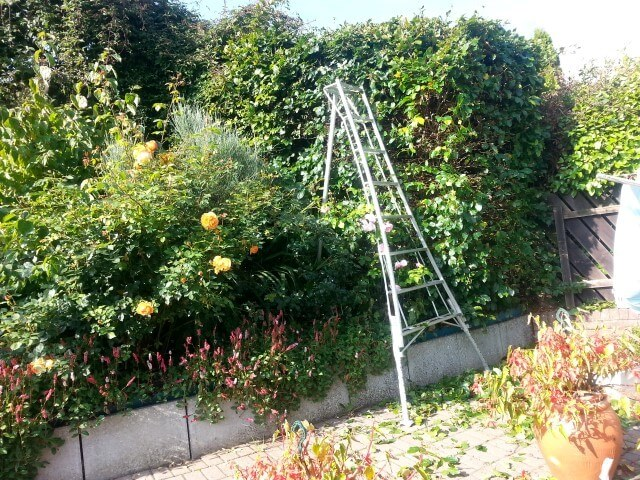 tripod ladders being used for careful access around rose bushes