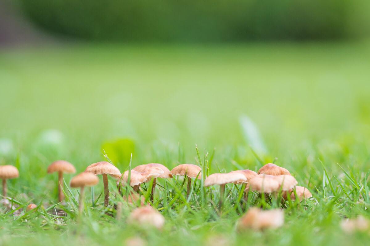 lawn toadstools