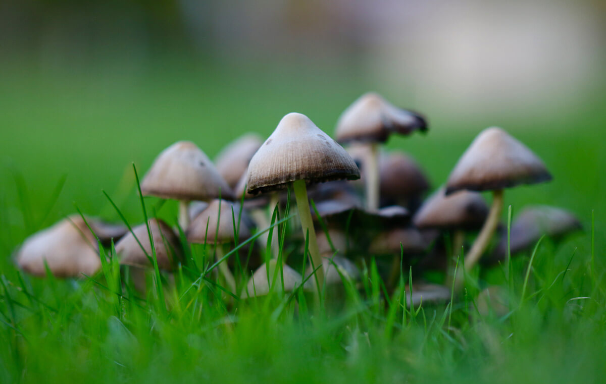 toadstools in turf