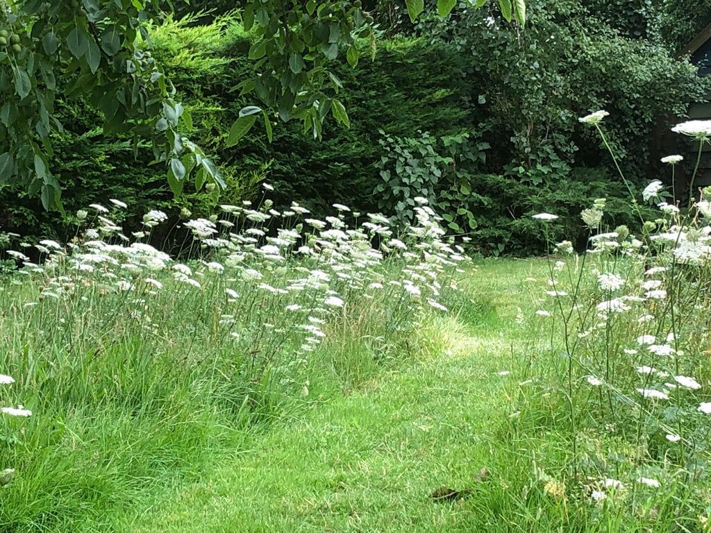 A wildflower lawn in July